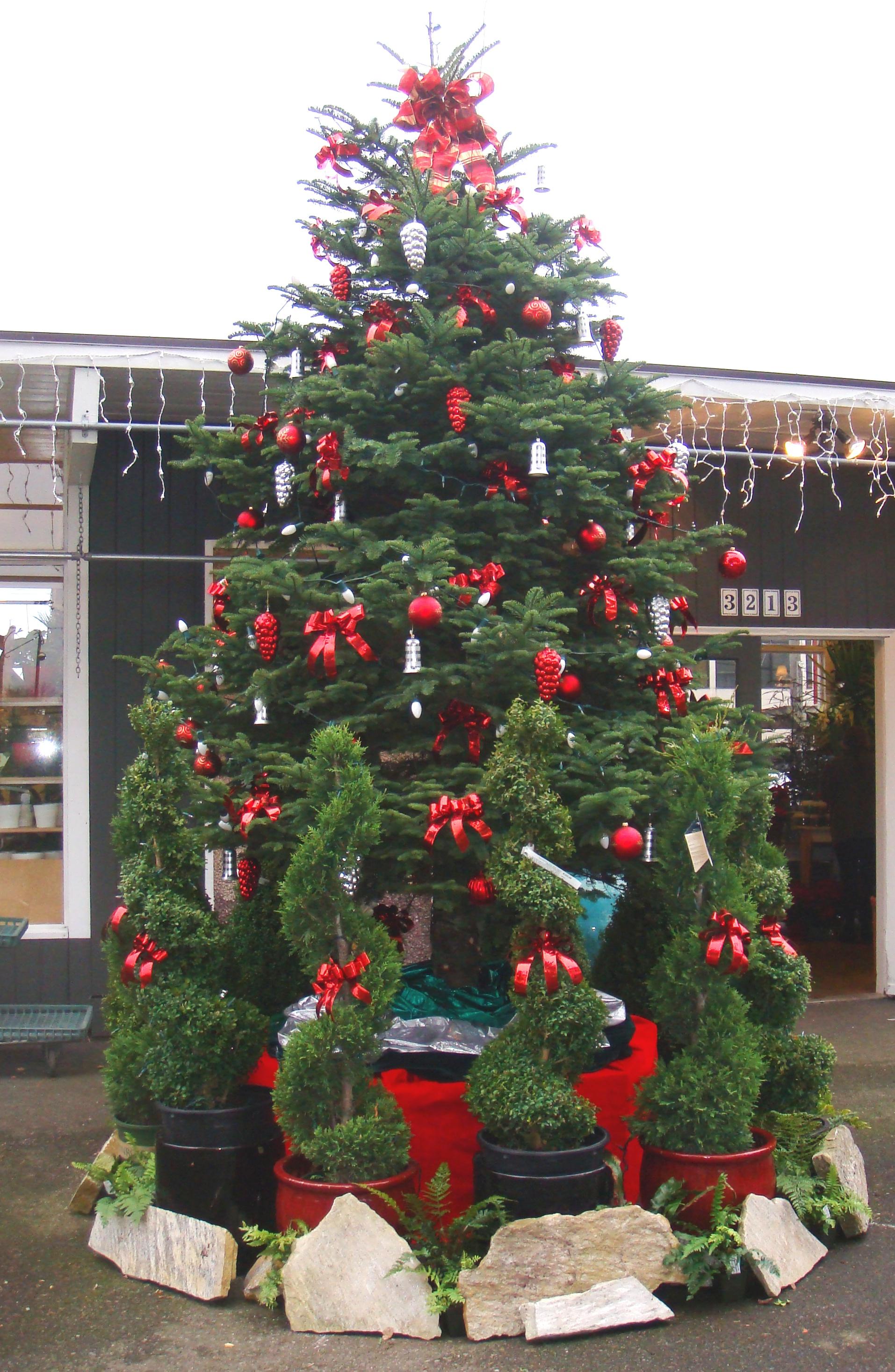 Fresh Christmas Trees.Christmas At Magnolia Garden Center With Fresh Christmas