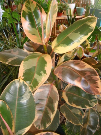 ficus tineke variegated rubber tree shown with other tropical house plants at magnolia garden center rubber trees are among the easiest of house plants