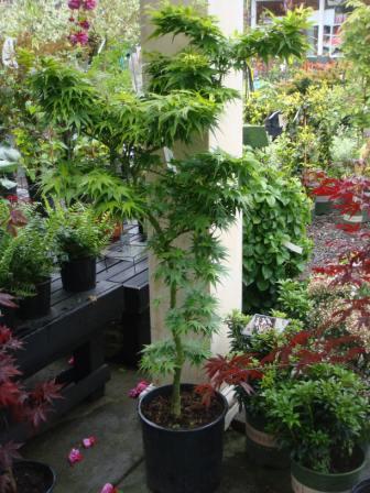 Japanese Maple Trees Magnolia Garden Center Seattle